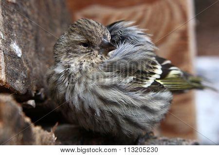 Baby yellow finch