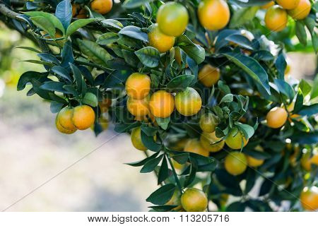 Orange Tree - Orange Farm - Orange Park