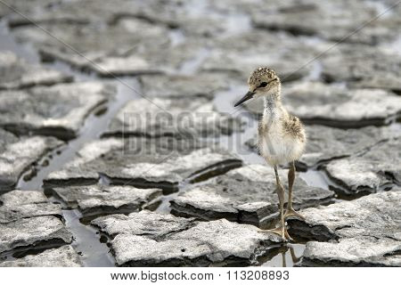 Black-necked stilt baby brand new hatchling