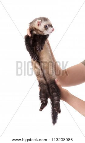 Domestic Polecat On A White Background