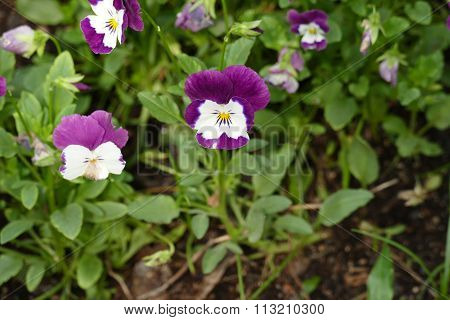 Blooming Pansy Flower At The Flowerbed