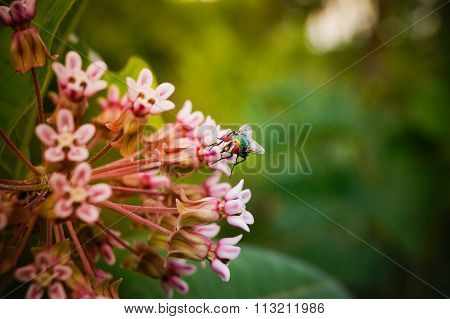 Housefly and Milkweed