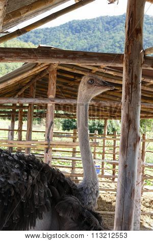 Ostrich In Paddock In The Farm