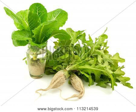 Fresh Lettuce Vegetable On White