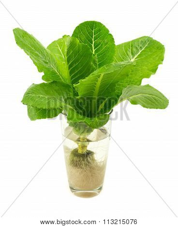 Green Cos Lettuce Isolated On White