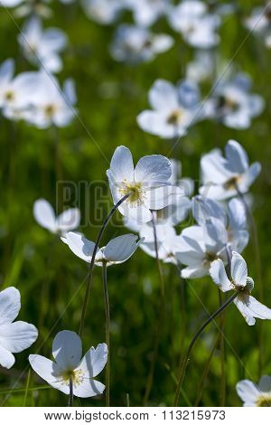 Wild plant Siberian forest Anemone ( Anemone )