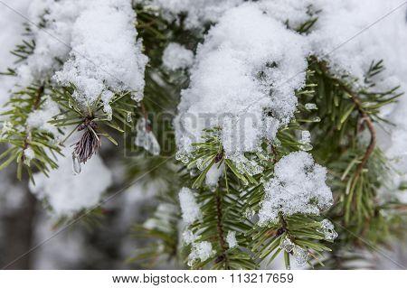 Snow On Pine Brach.