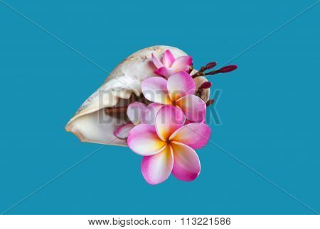 Pink Flower Plumeria Or Frangipany In Sea Conch Shell