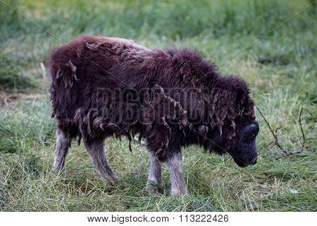musk ox in alaska pasture grazzing park eating