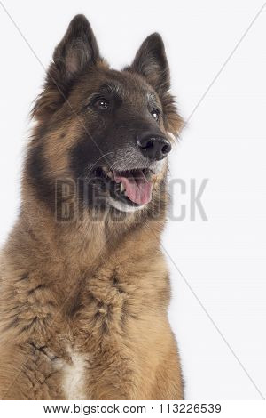 Dog, Belgian Shepherd Tervuren, Headshot, Isolated