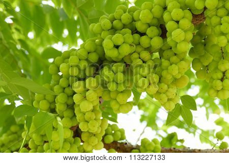 Star Gooseberry Fruit