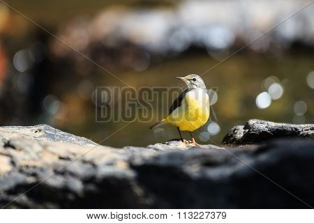 Grey Wagtail  Standing On Rock