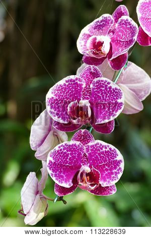 Blooming Purple Orchid Flower