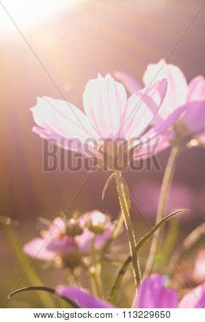 Pink Beauty Cosmos Flowers Under The Sunshine. Vintage Style.