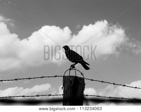 Crow on the barb wire fence