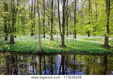 Forest And The Blooming Wild Garlic (allium Ursinum) In Stochemhoeve, Leiden, The Netherlands