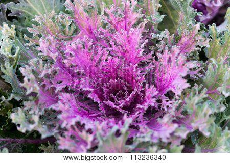 Close Up Of Mangenta Cabbage (brassica Oleracea Capitata Group)