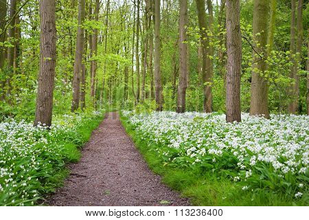 A Road In The Forest And The Blooming Wild Garlic (allium Ursinum) In Stochemhoeve, Leiden, The Neth