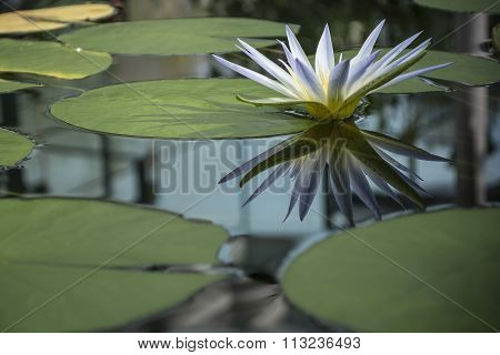 Blue Nile Waterlily (Nymphaea Caerulea)