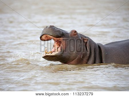 wild hippo near St.Lucia, South Africa. one of the biggest hippo colonies in the world.
