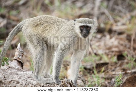 wild velvet monkey in Kruger National Park, South Africa.