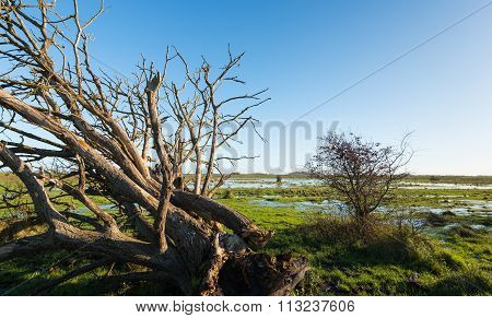 Uprooted Tree With Bare Branches In A Swampy Are