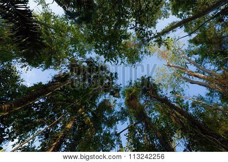 Treetops In The Rain Forrest North Sulawesi, Indonesia