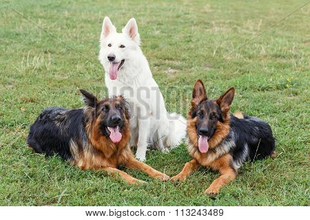 White Swiss And German Shepherds