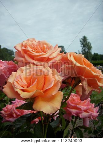 Pink and orange standard roses