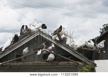 Summer Bright Sunny Day Colorful Pigeons Sitting On A Dovecote.