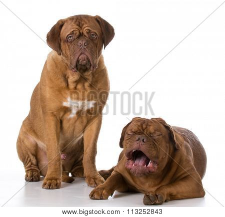 funny dogue de bordeaux puppies with crying expression