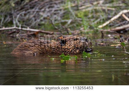Wild beavers Horseshoe Lake Denali national park Alaska North Am