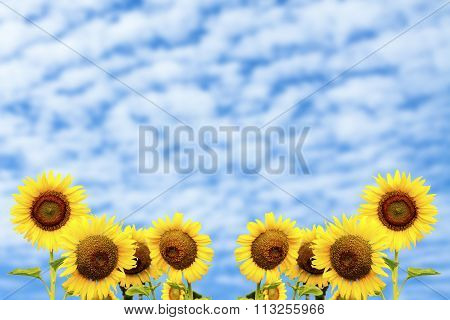 Sunflowers On Altocumulus Cloud Background