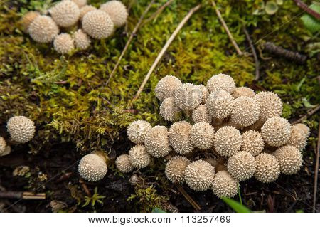Single Spiney puffball mushroom fungi in undergrowth Alaska