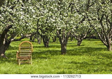 Apple Garden In Blossom