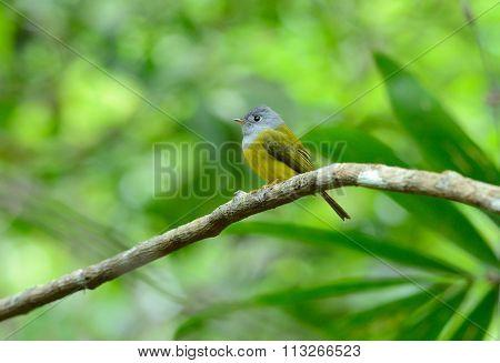 Grey-headed Canary- Flycatcher (culicicapa Ceylonensis)