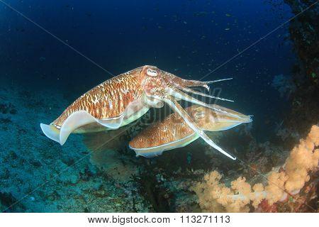 Pharaoh Cuttlefish underwater