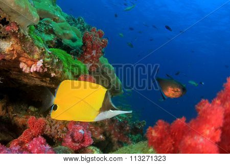 Tropical fish: Longnose Butterflyfish on coral reef