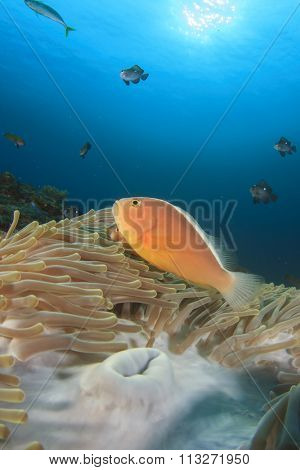 Skunk Anemonefish (Clownfish)(Nemo fish)