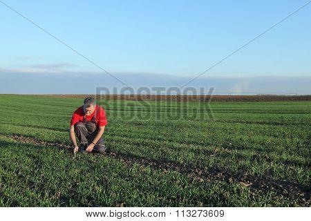 Agriculture, Farmer Examine Wheat Field