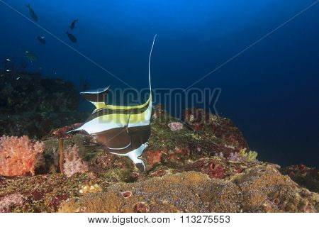 Moorish Idol fish bannerfish fish coal sea ocean underwater angelfish