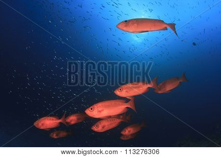 Red fish school coral reef: Crescent-tailed Bigeyes