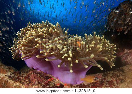 Anemone, clownfish, glassfish, coral reef