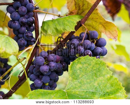 Clusters Of Dark Blue Grapes