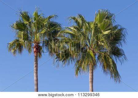 Two Palmtrees Over Blue Sky