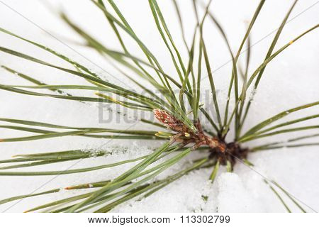 Branch Of The Pine Tree In The Snow