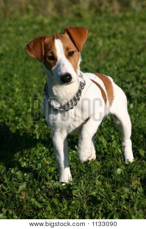 Attentive Jack Russel