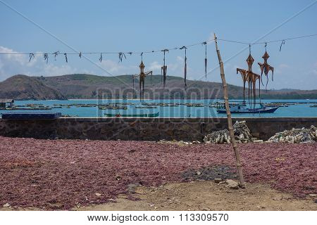 Drying Octpus In The Small Fisher Village Gerupuk