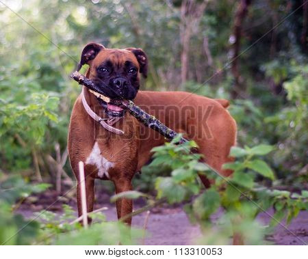 Boxer dog holding a stick in woodland