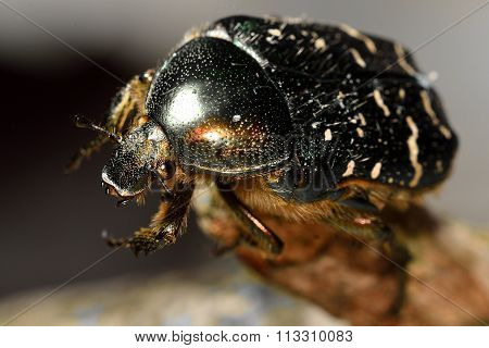 Rose chafer (Cetonia aurata) beetle close-up, with good view of hairs and eye